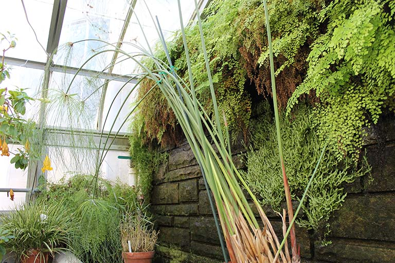 Cyperus papyrus in the Jordan Hall greenhouse at Indiana University Bloomington.